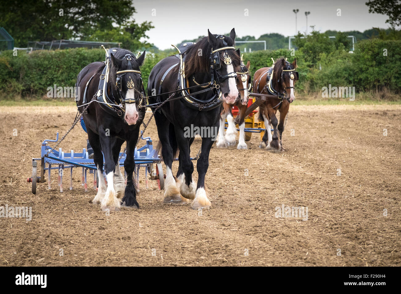 Shire horses at work in a field at the Essex Country Show, Barleylands, Essex. - Stock Image