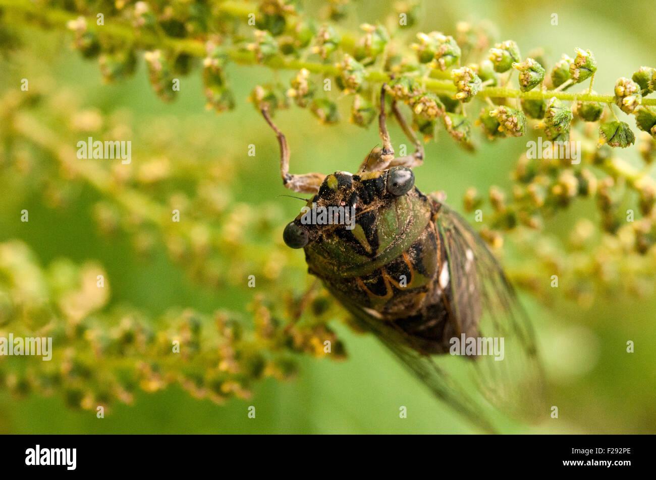 Cicada - Stock Image