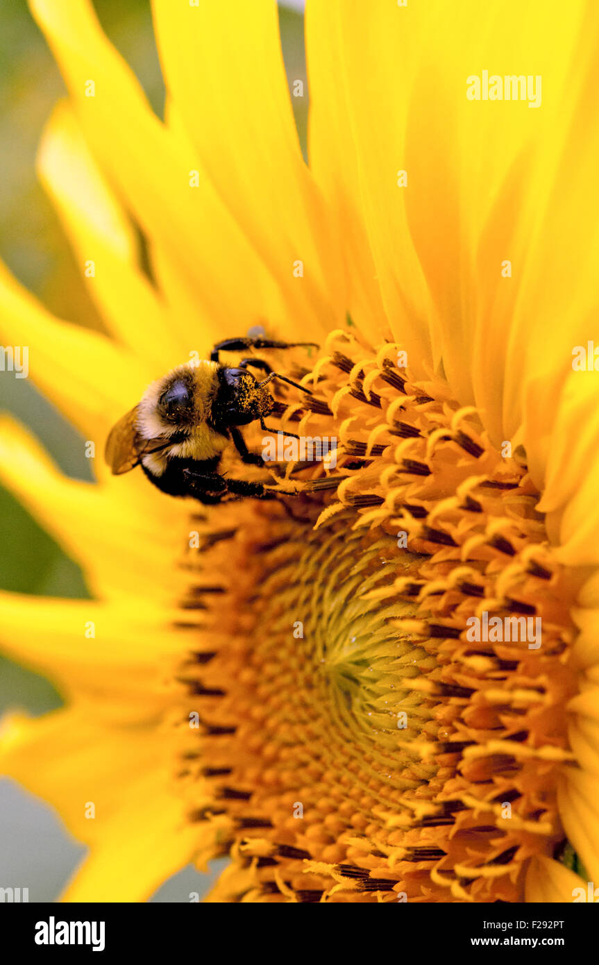 Bumble bee pollinating sunflower - Stock Image