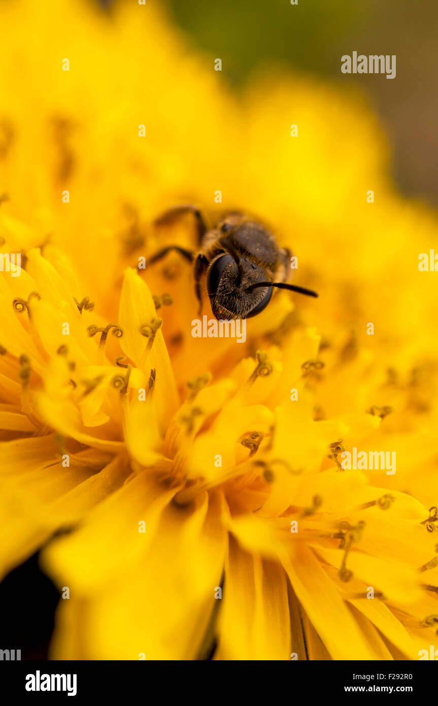 Bee on dandelion close--up - Stock Image