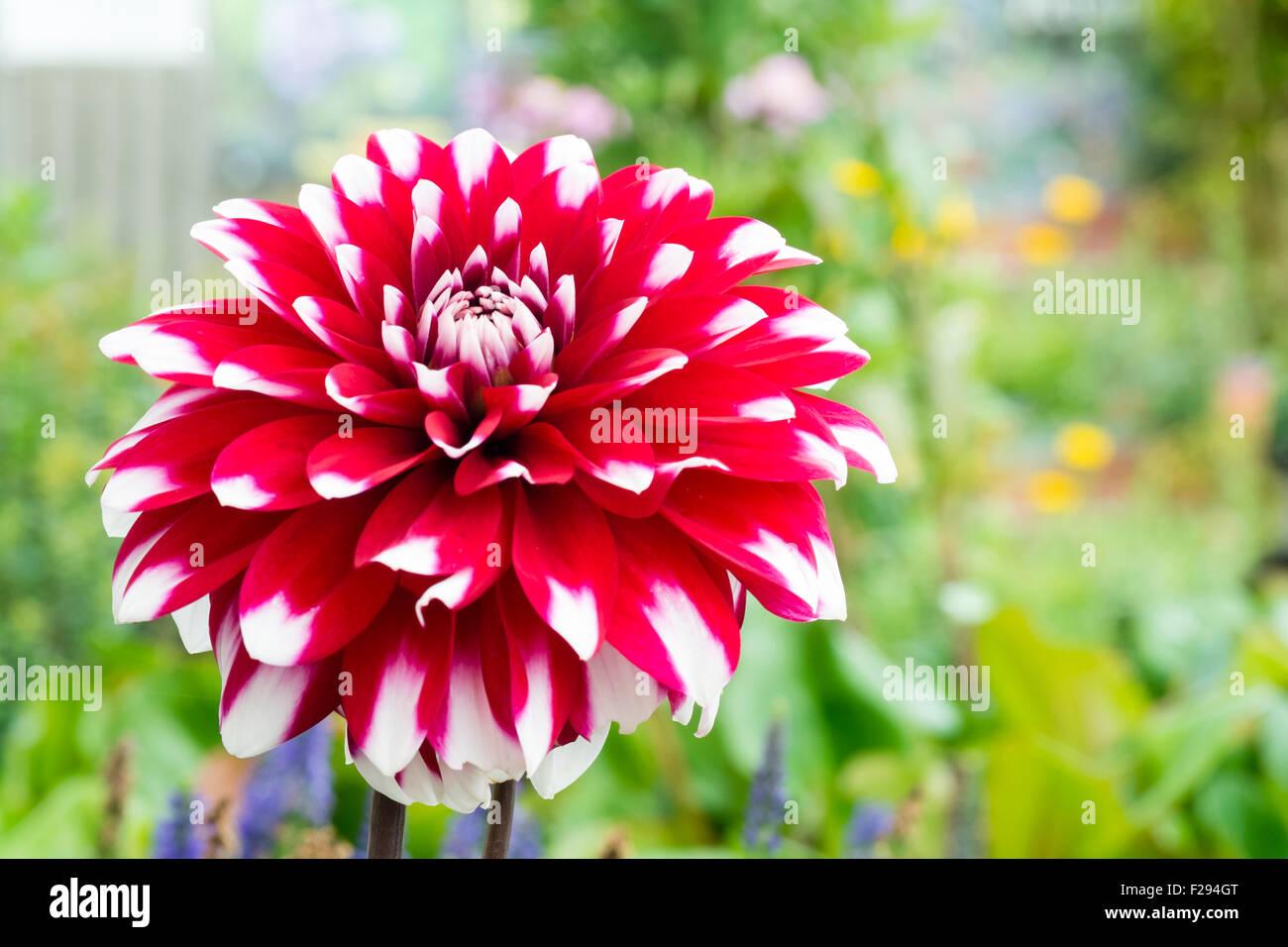 Karma stock photos karma stock images alamy dahlia karma ying yang red white flower uk stock image izmirmasajfo