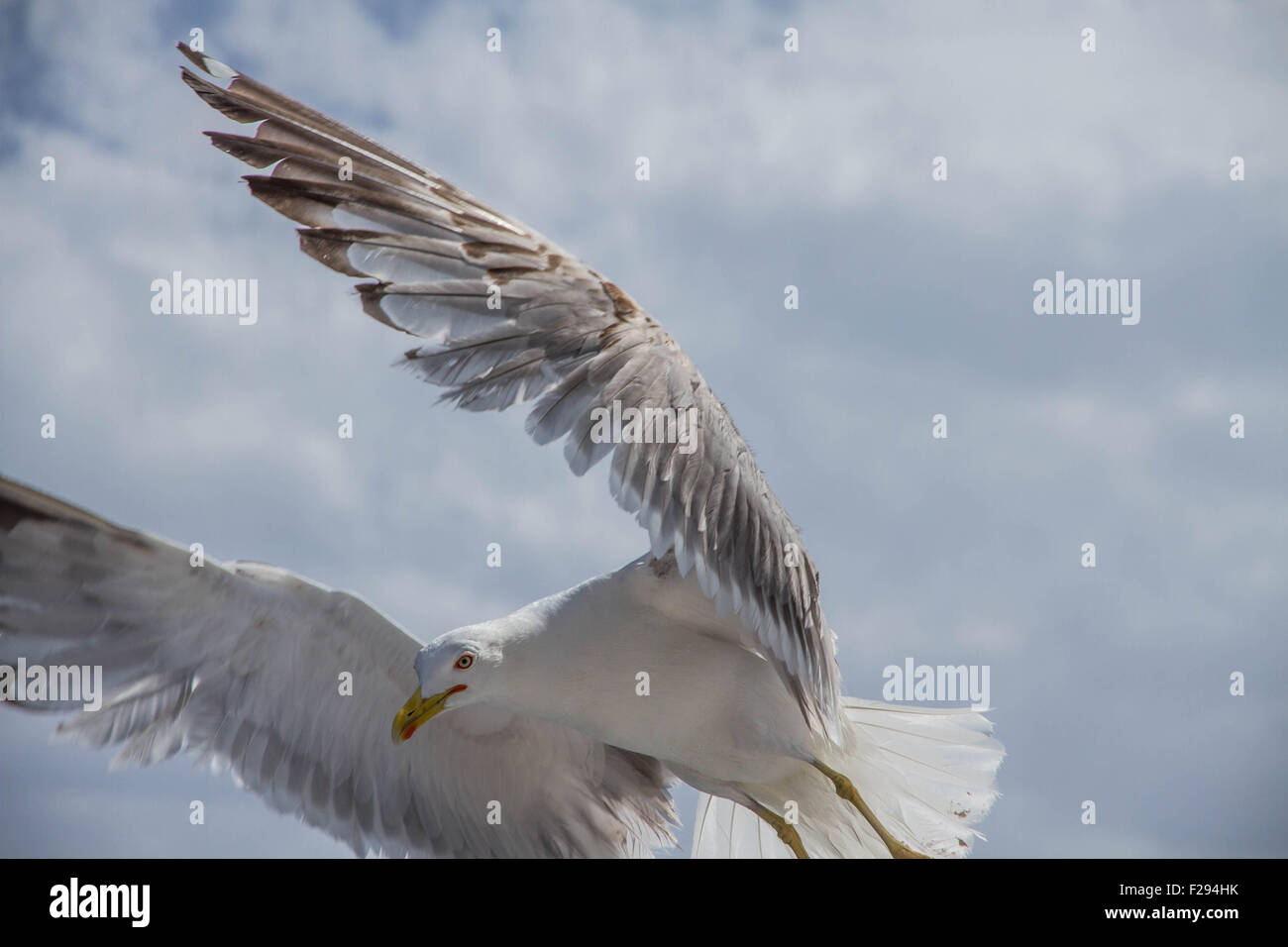 Seagull with wings swept forwards - Stock Image