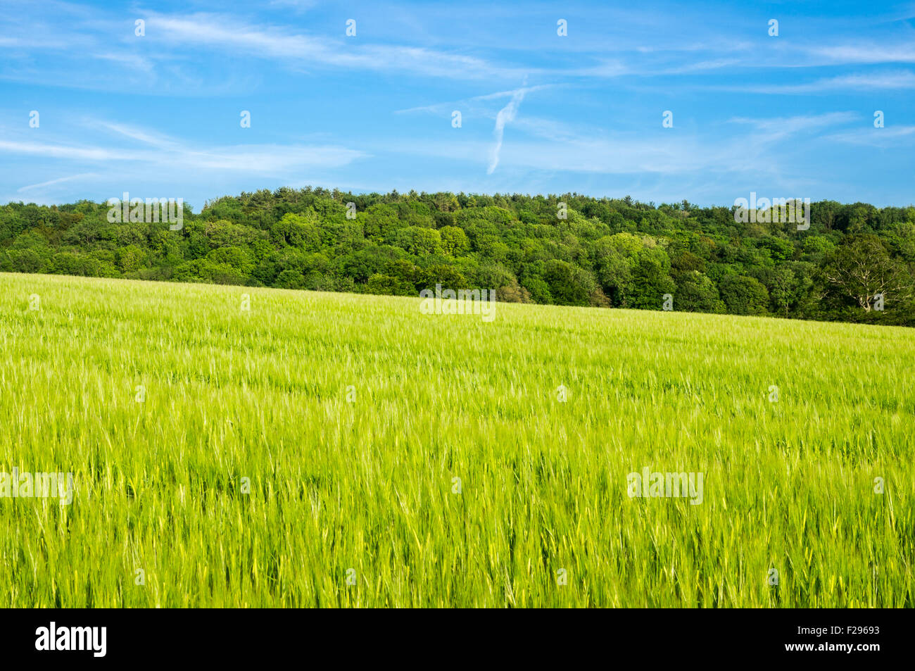 A warm, summers day looking across a field of growing crops - Stock Image