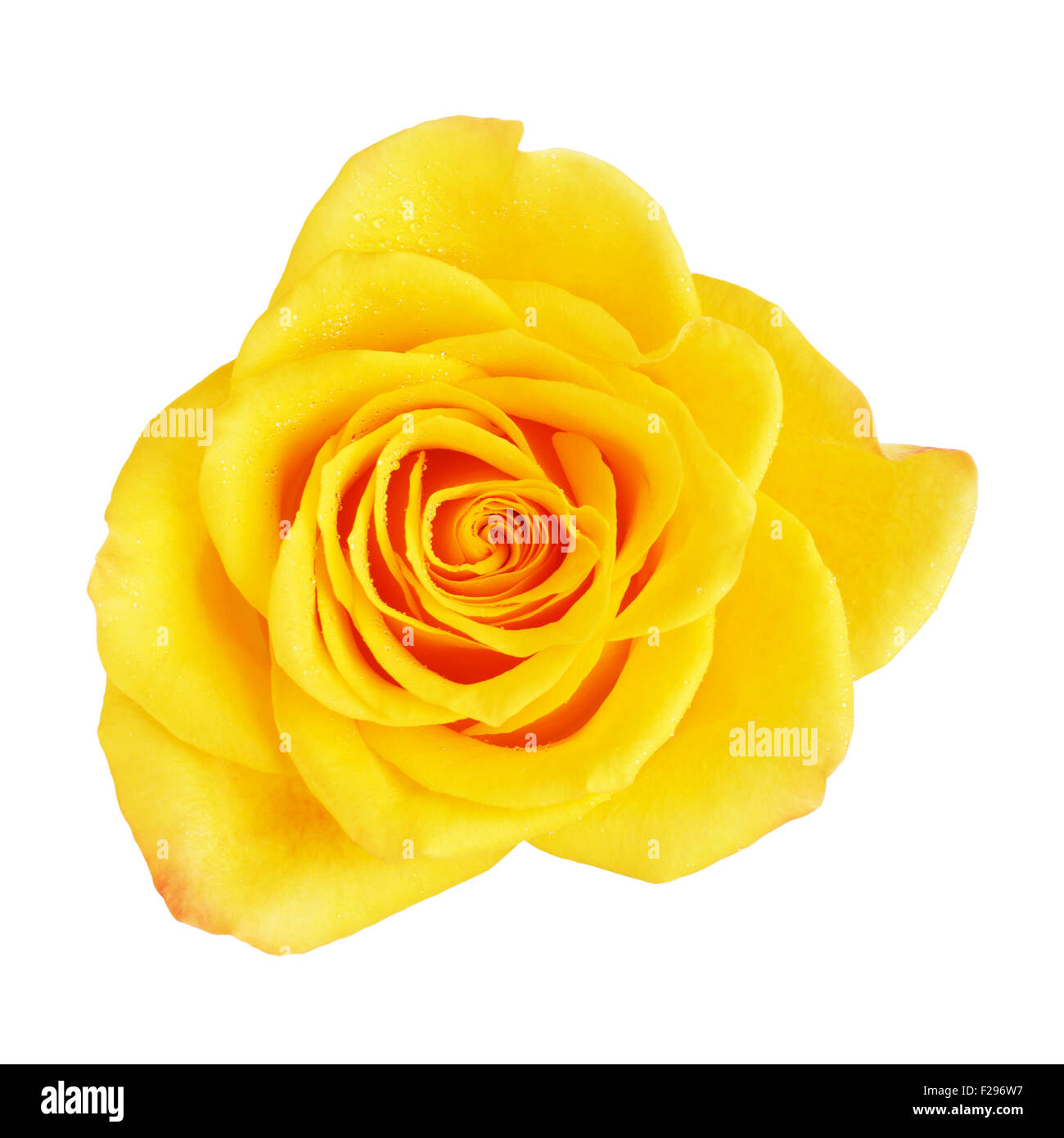Single Yellow Rose Flower Isolated On White Top View Stock Photo