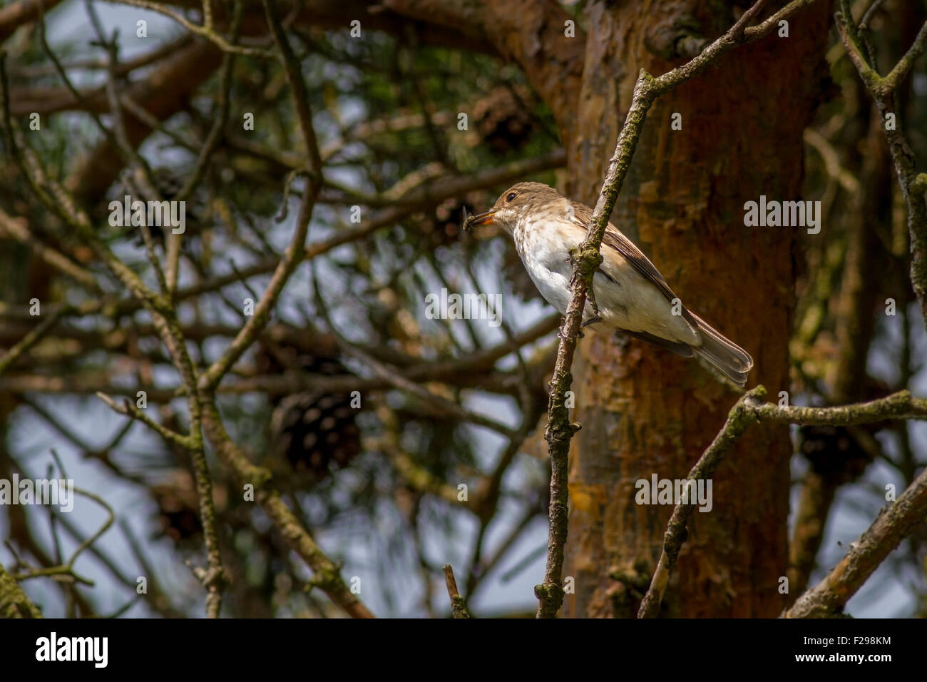 Spotted flycatcher with a fly in its beak that it has just caught. (See image F298KN for it dropping that fly!) - Stock Image