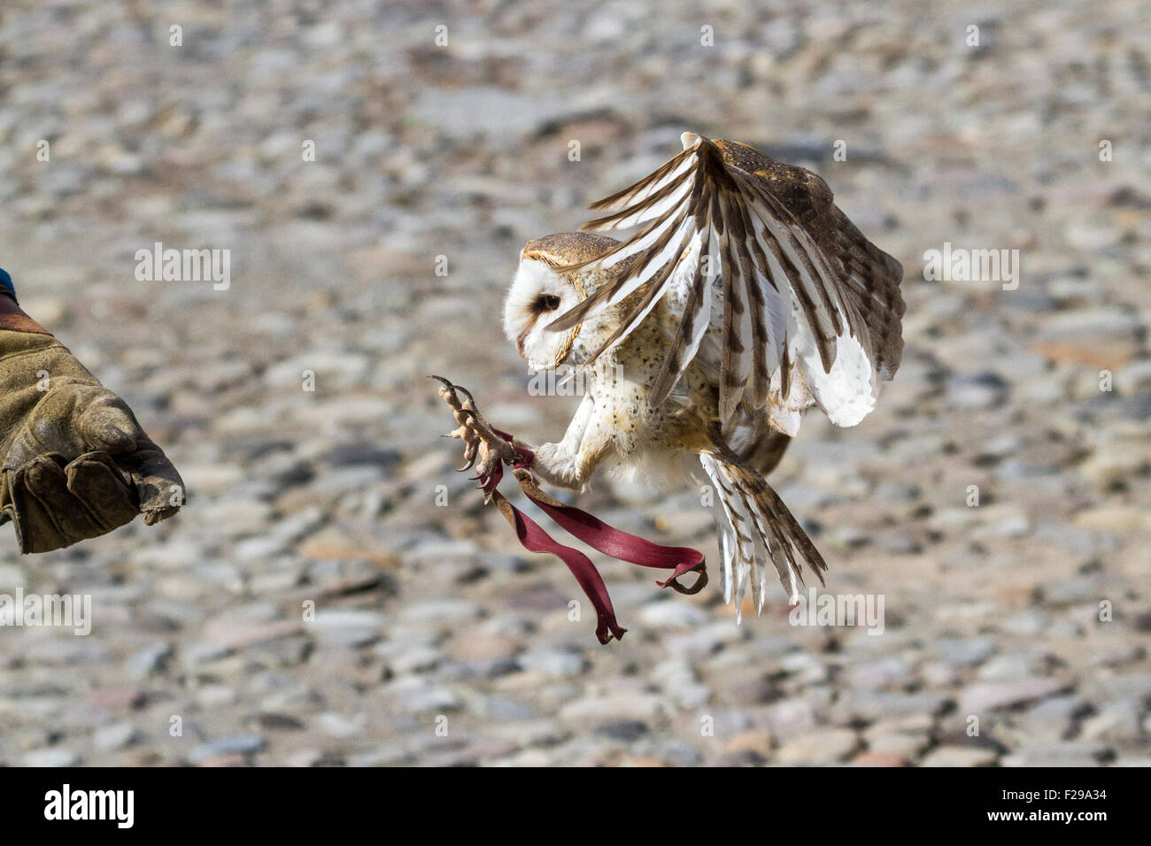 A Barn Owl arrives into the falconers glove during a flight demonstration - Stock Image