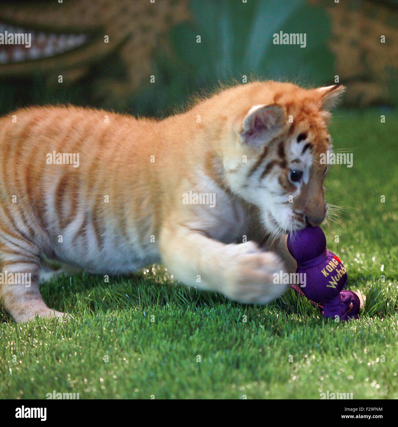 Creuda was given a live tiger cub for his birthday 29.06.2017 59
