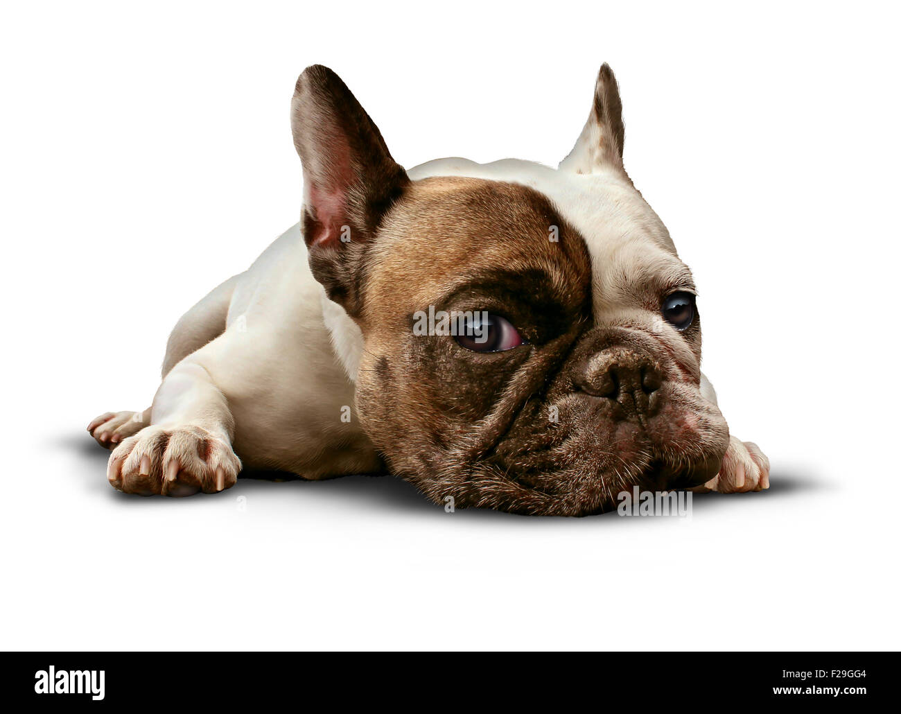 Dog lying down on a white background as a cute french bulldog looking sad and lonely or laying on the floor as a - Stock Image
