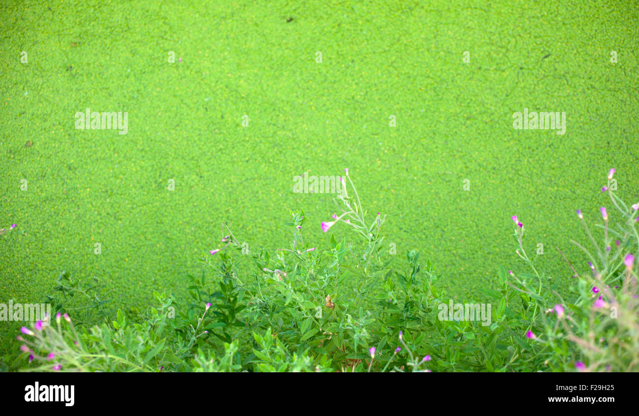 Muck floating on top of a pond Stock Photo