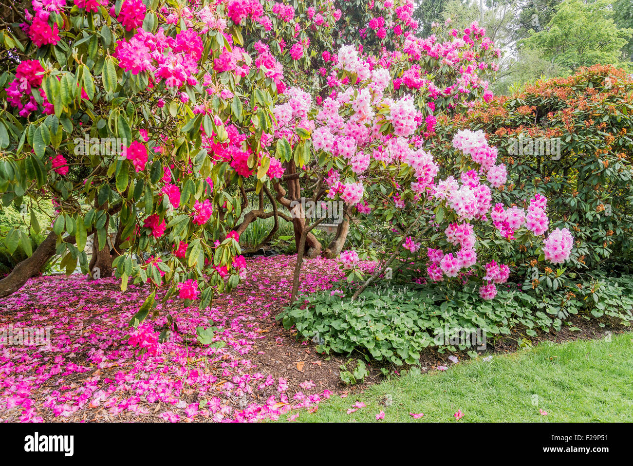 Rhododendron bushes flowering, Beacon Hill Park, Victoria, British Columbia, Canada - Stock Image