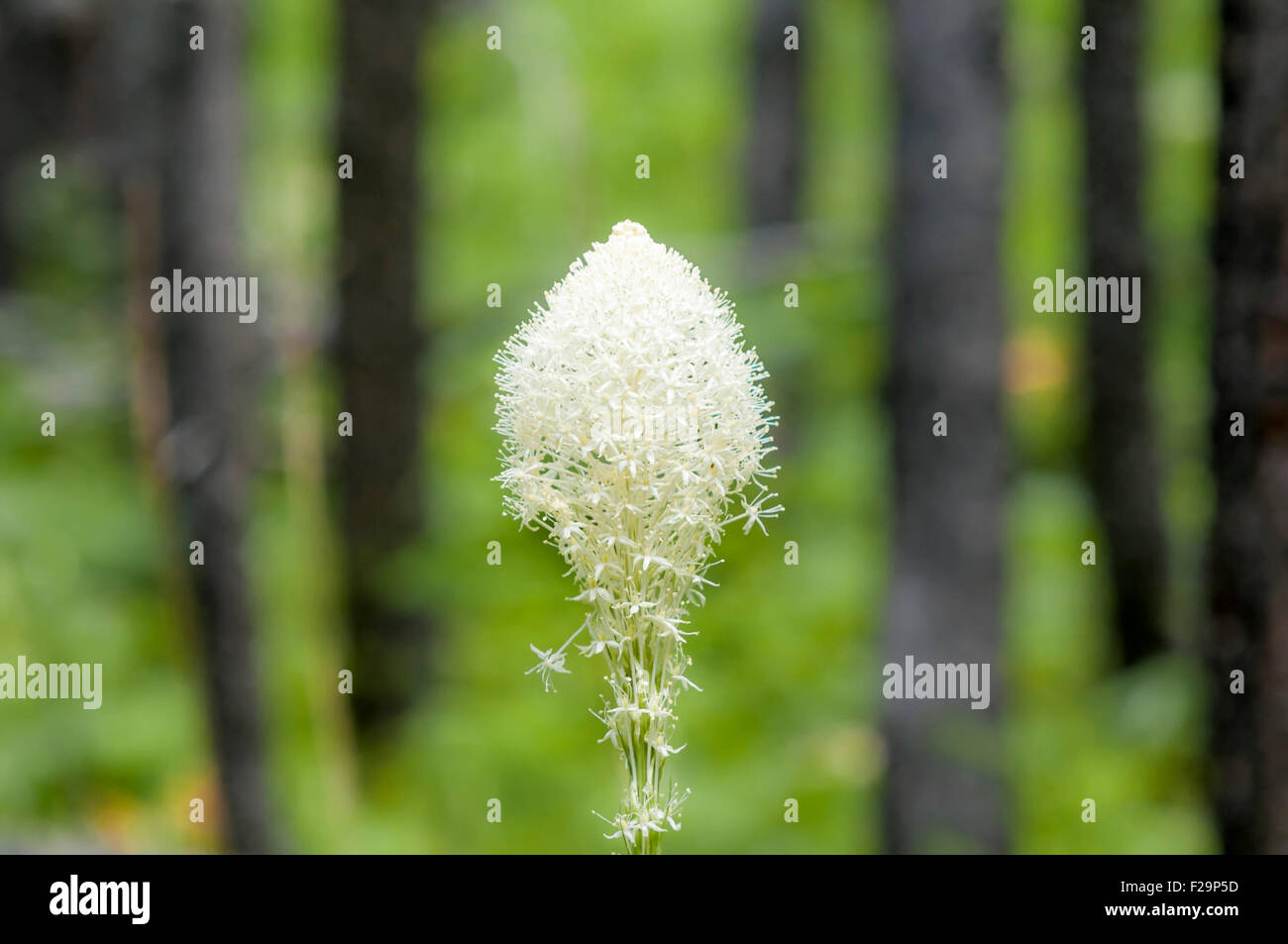 Beargrass wildflower, Waterton Lakes National Park, Alberta, Canada - Stock Image