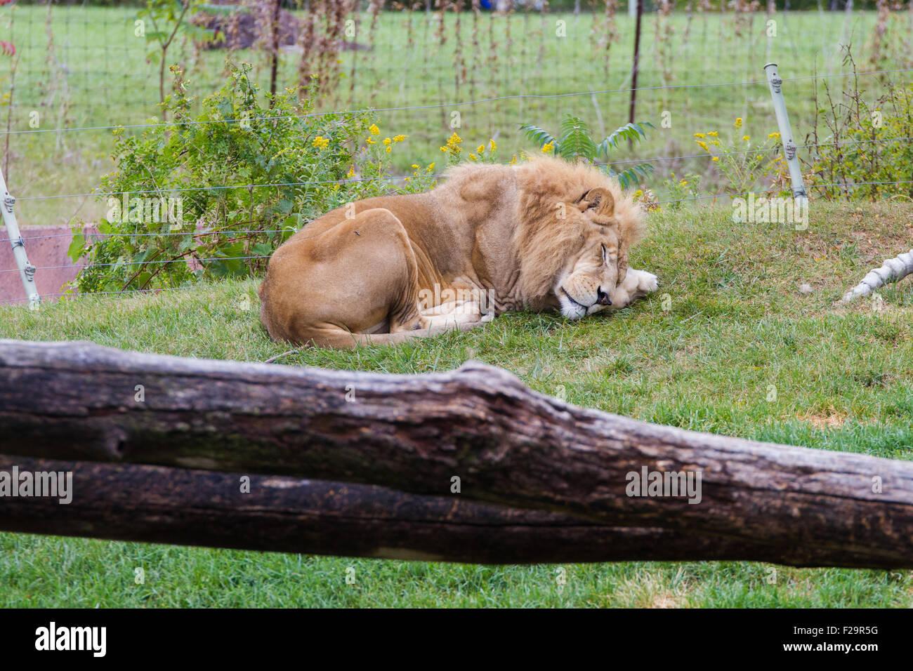 Lion sleeping inside cage Toronto zoo - Stock Image
