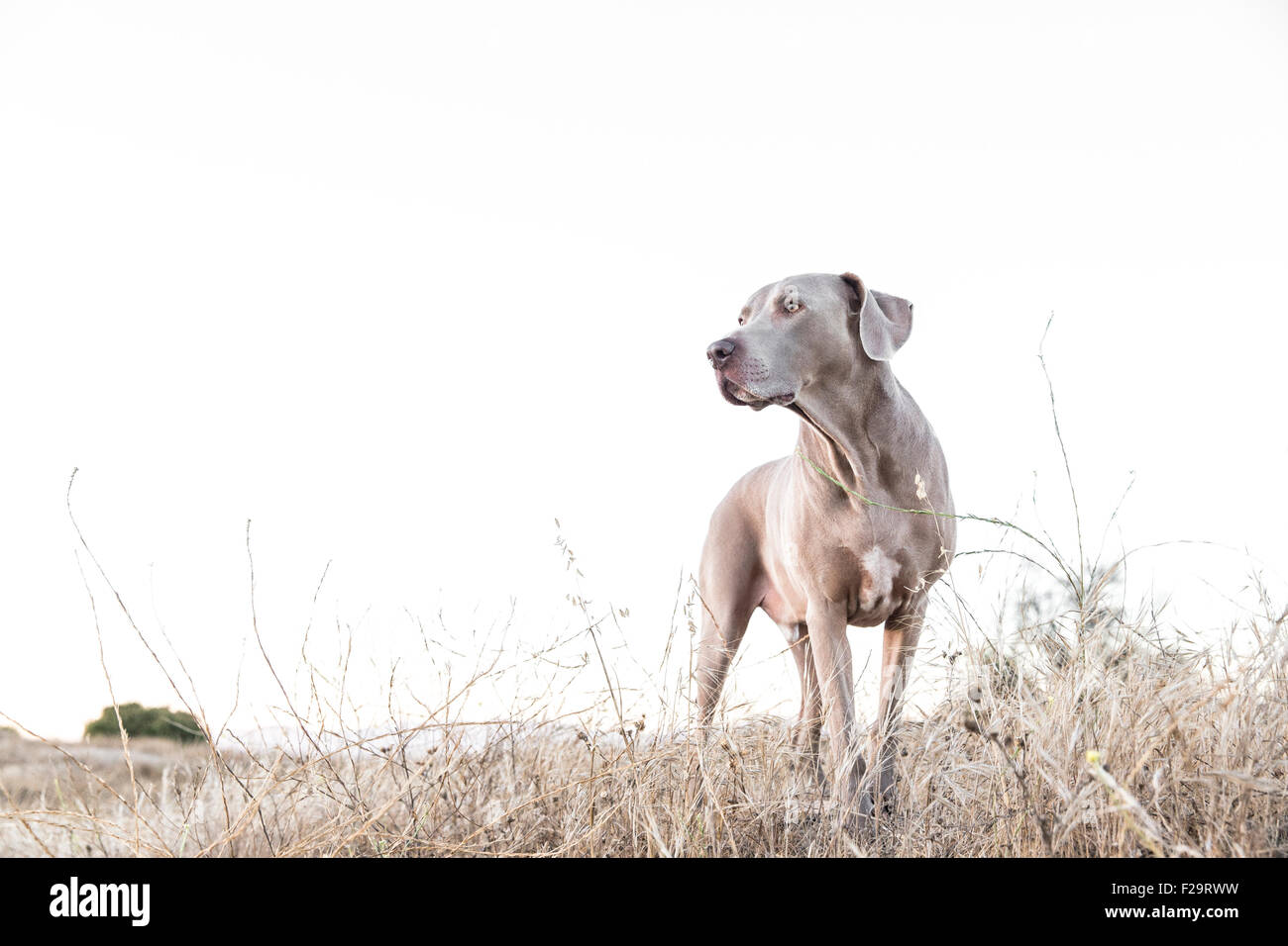 Adult Weimaraner dog standing facing camera, looking off to camera left in a dry barren field, negative space for - Stock Image