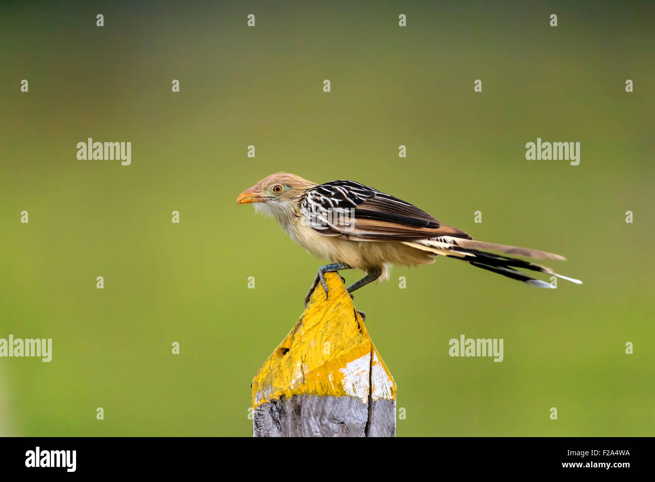 Guira cuckoo (Guira Guira), adult on the lookout, Pantanal, Mato Grosso, Brazil - Stock Image