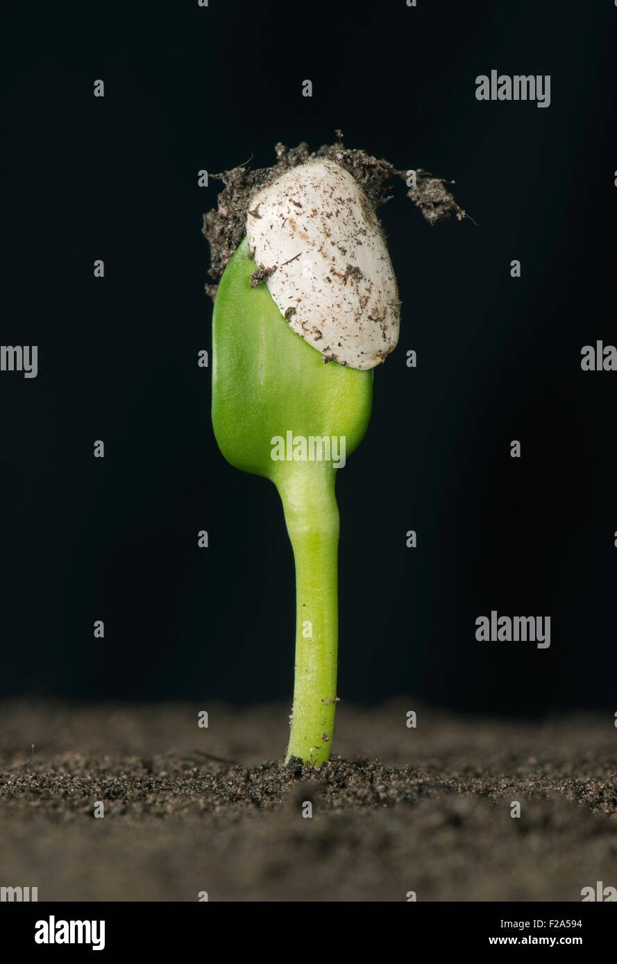 Sunflower seedling with cotyledons still trapped inside the seed coat or pericarp after germination - Stock Image