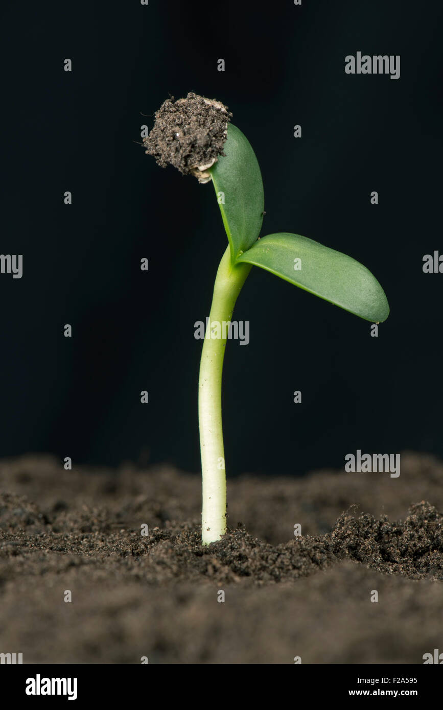 Sunflower seedling with cotyledons expanding but retaining the seed coat or pericarp - Stock Image