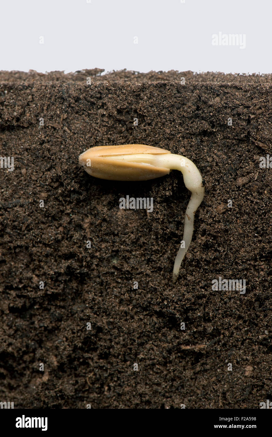 Sunflower seed in its seed coat or pericarp below soil surface with root or radicle developing (series number 2) - Stock Image