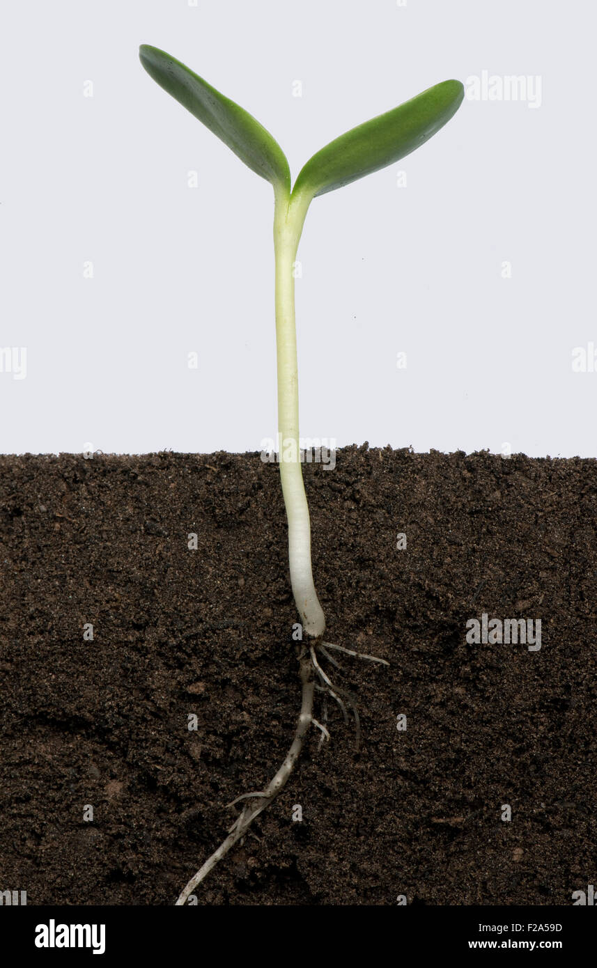 Sunflower seedling with cotyledons expanding (series number5) - Stock Image