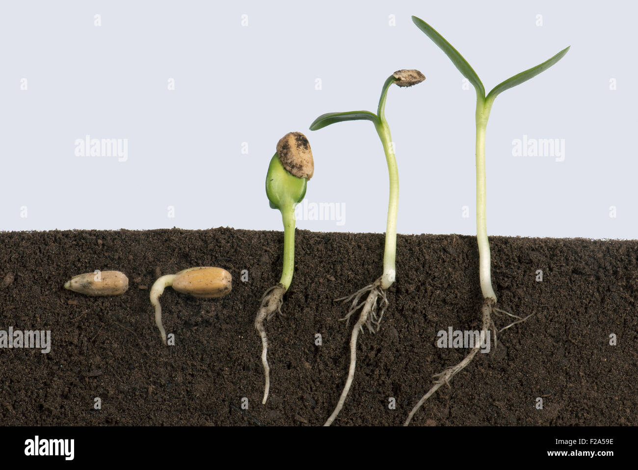 Sequence of sunflower seeds going through various stages of germination  from below soil to cotyledons