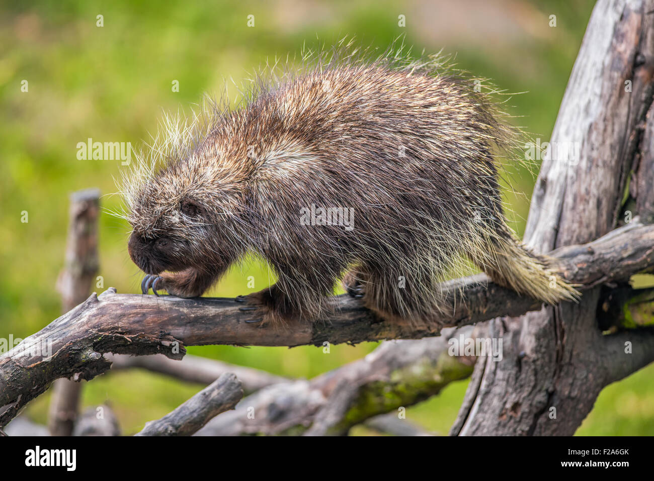 North American porcupine (Erethizon dorsatum) on a branch Stock Photo