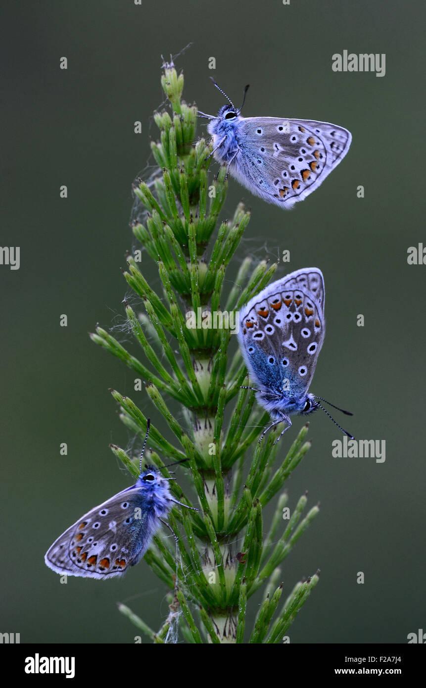 Three common blue butterflies at rest Dorset, UK June 2015 - Stock Image