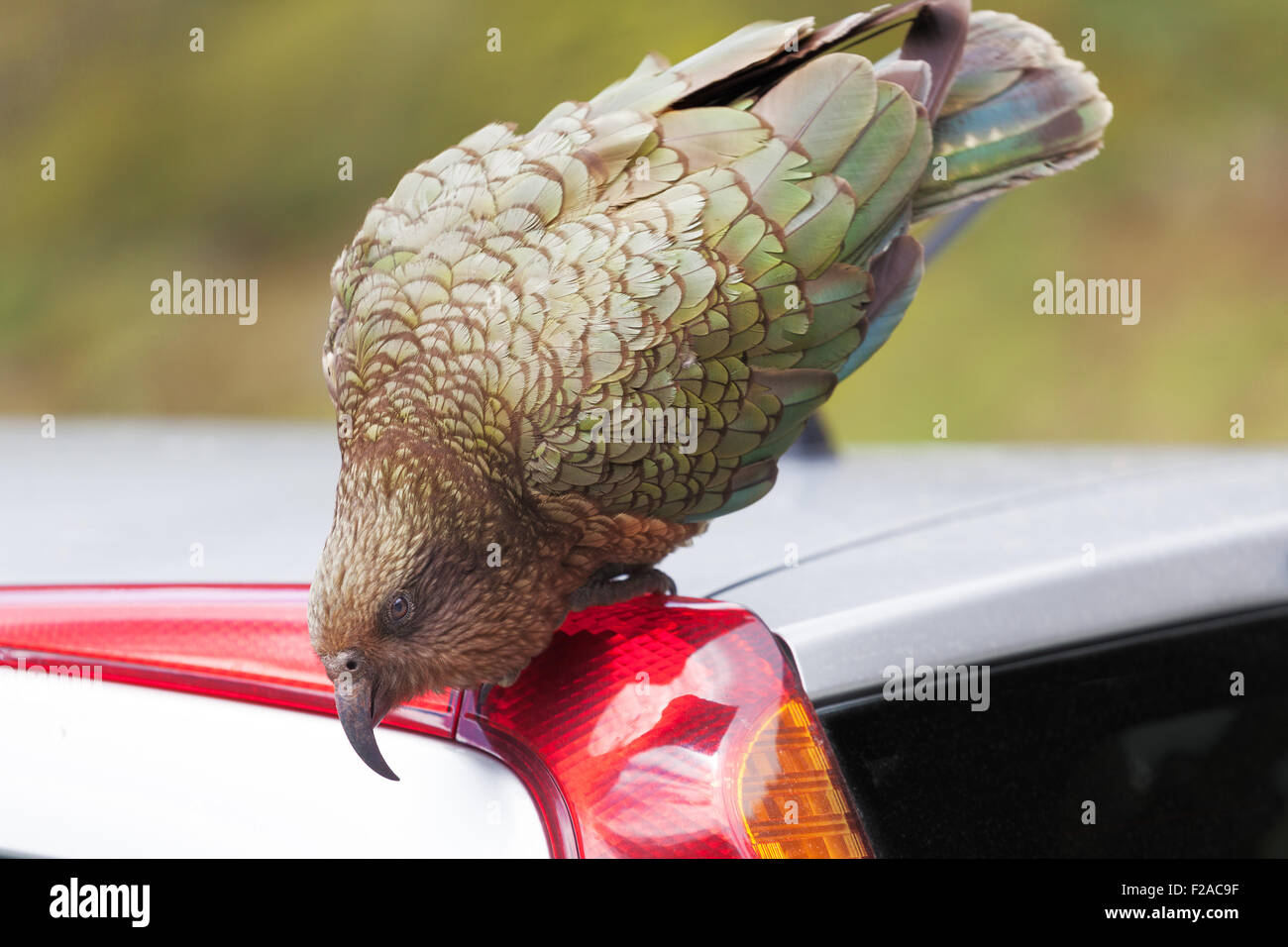 Kea Parrot landed on tourist's car at Fiordland National Park, New Zealand Stock Photo