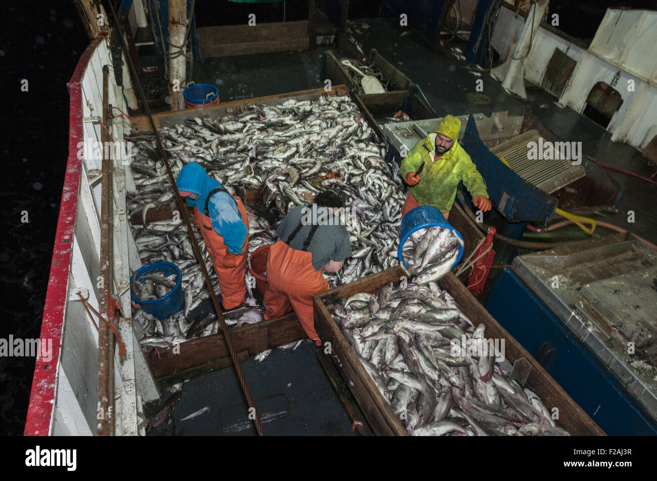 Sorting catch of haddock, scrod, pollock and dogfish on deck of offshore trawler.  Georges Bank, New England - Stock Image