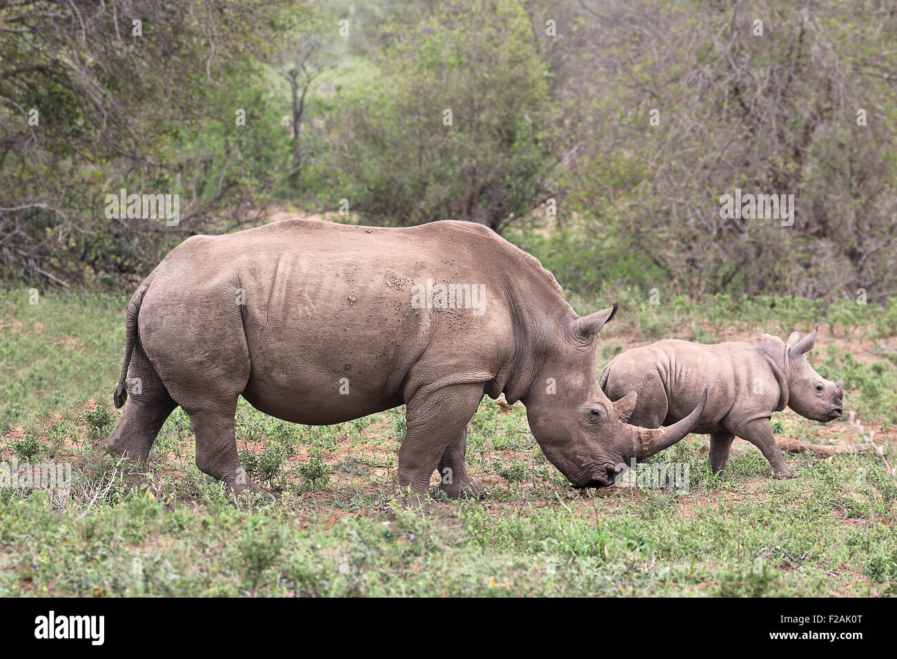 A female rhino / rhinoceros protecting her calf in South Africa - Stock Image