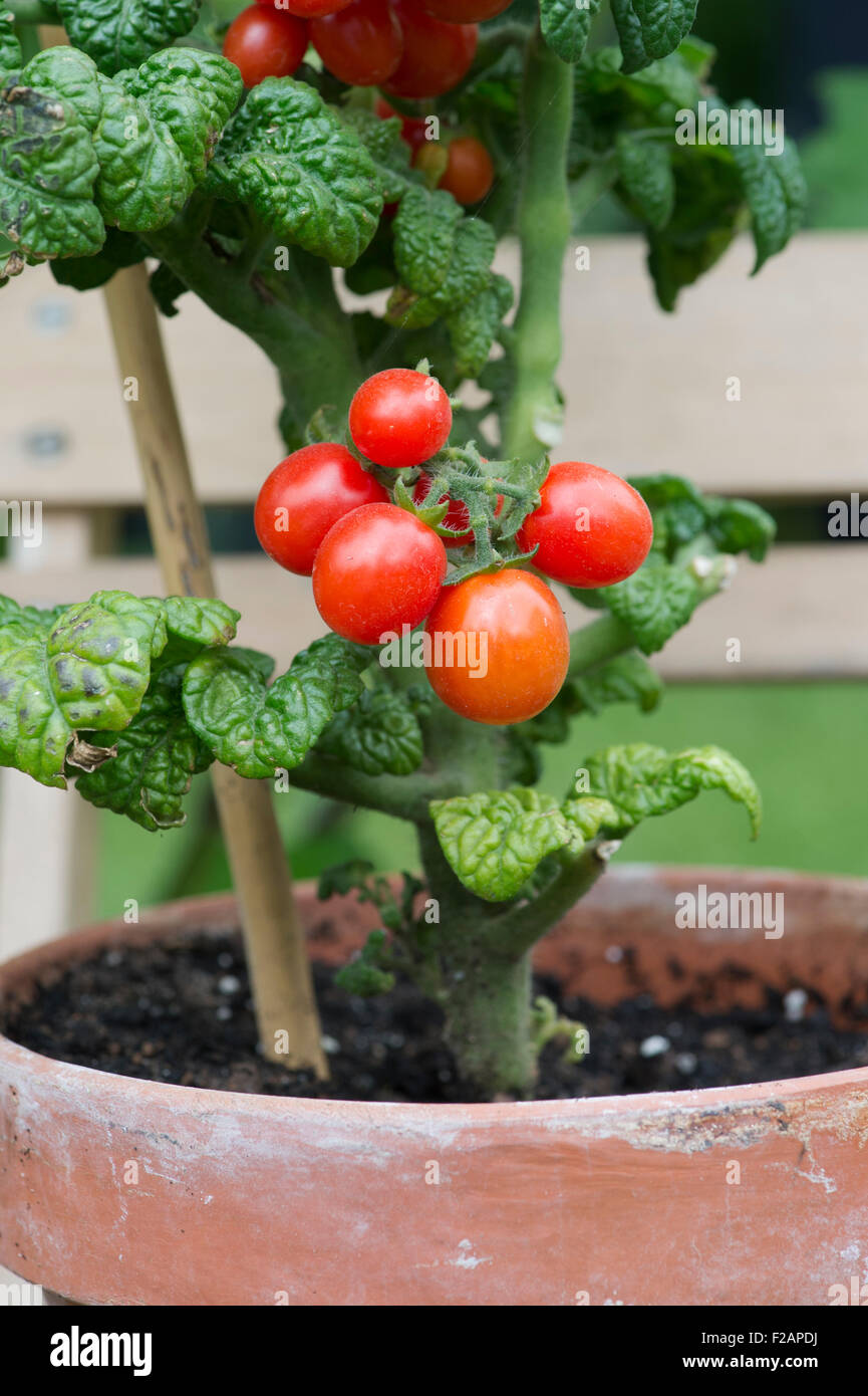Lycopersicon Esculentum Dwarf Tomato Patio Plum F1 On The Vine In Stock Photo