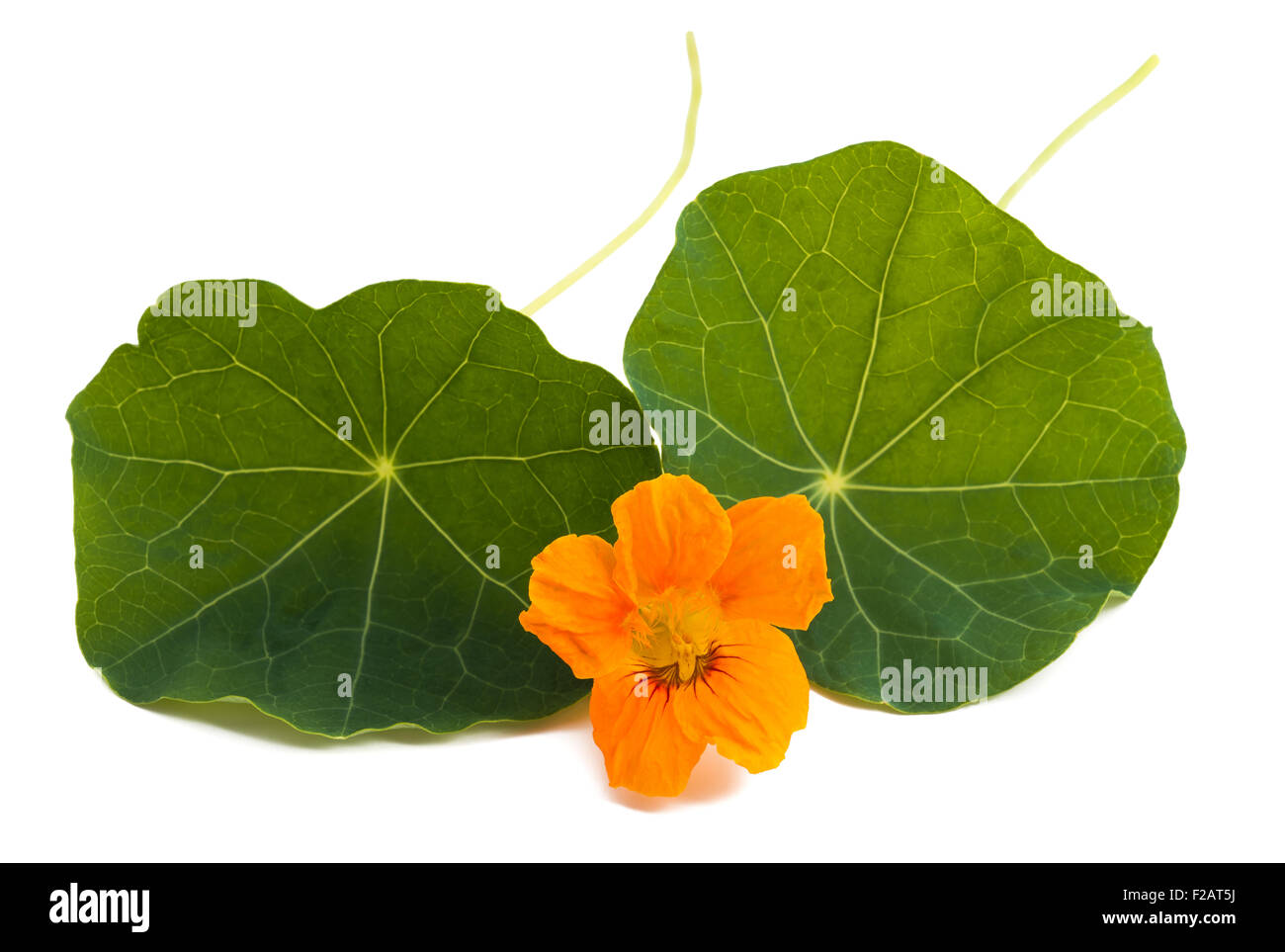Nasturtium Orange Flower With Leaves Isolated On A White Background