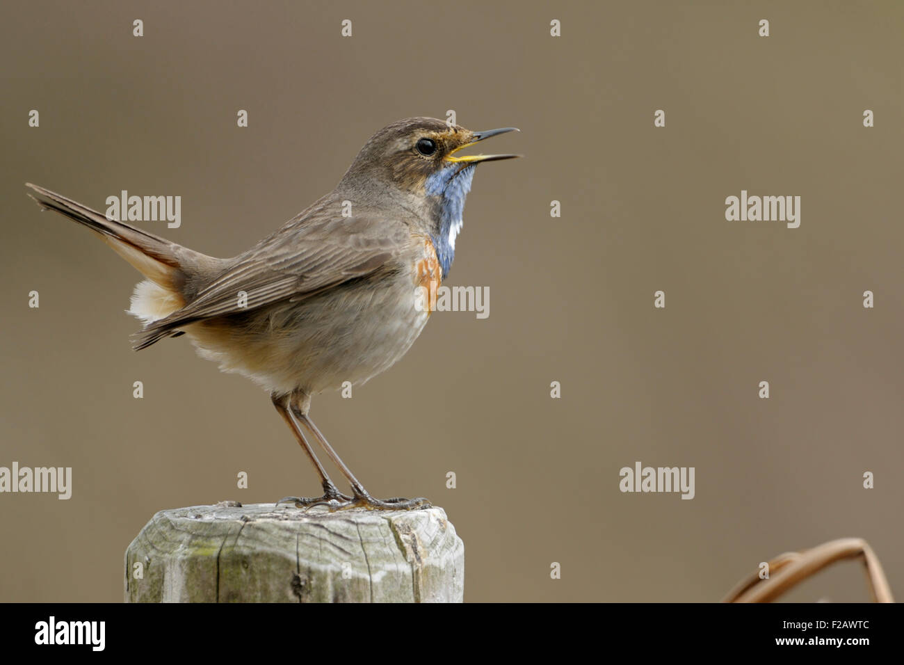 Luscinia Svecica / Bluethroat / Blaukehlchen Sings His Song Sitting On A  Fence Post In Front