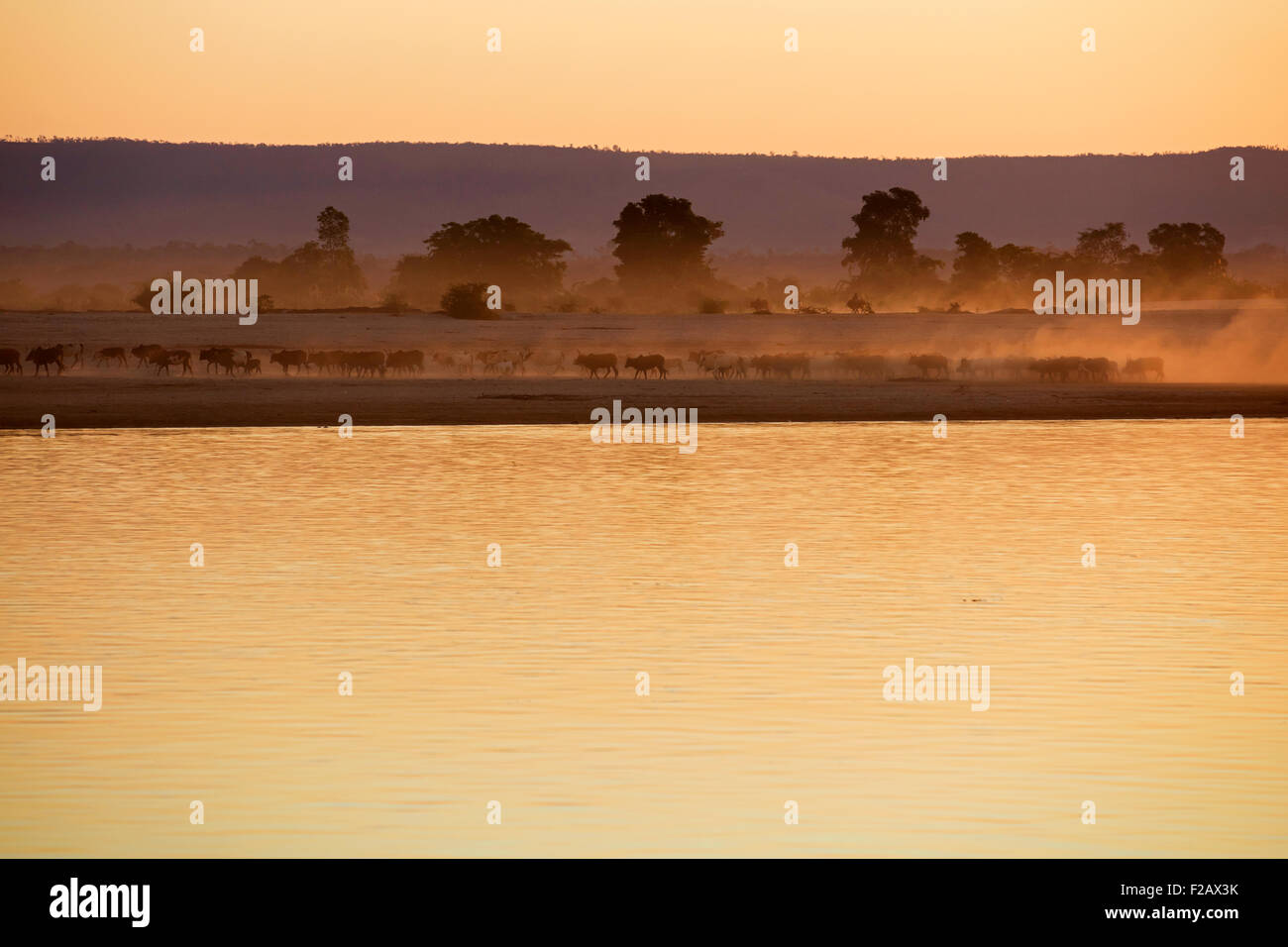 Zebu / humped cattle / Brahman herd kicking up dust along Tsiribihina / Tsiribinha river at sunset, Menabe, Madagascar, - Stock Image