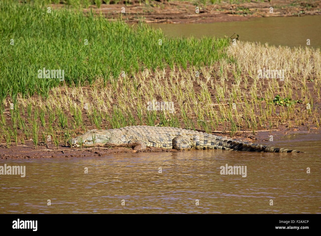 Nile crocodile (Crocodylus niloticus) sleeping in rice paddy on riverbank of Tsiribihina / Tsiribinha river, Menabe, - Stock Image