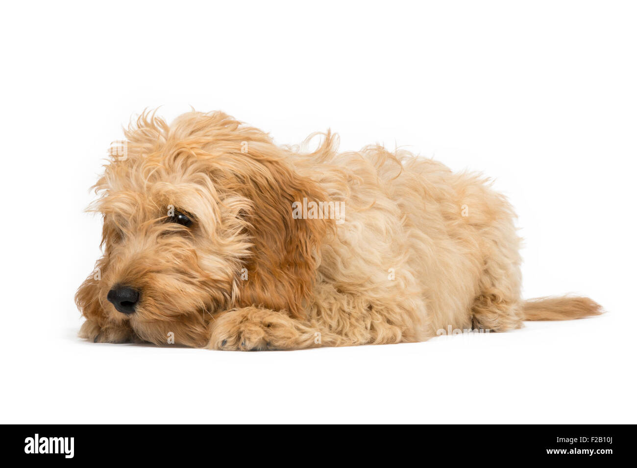 Four month old Cockapoo puppy laying with white background - Stock Image