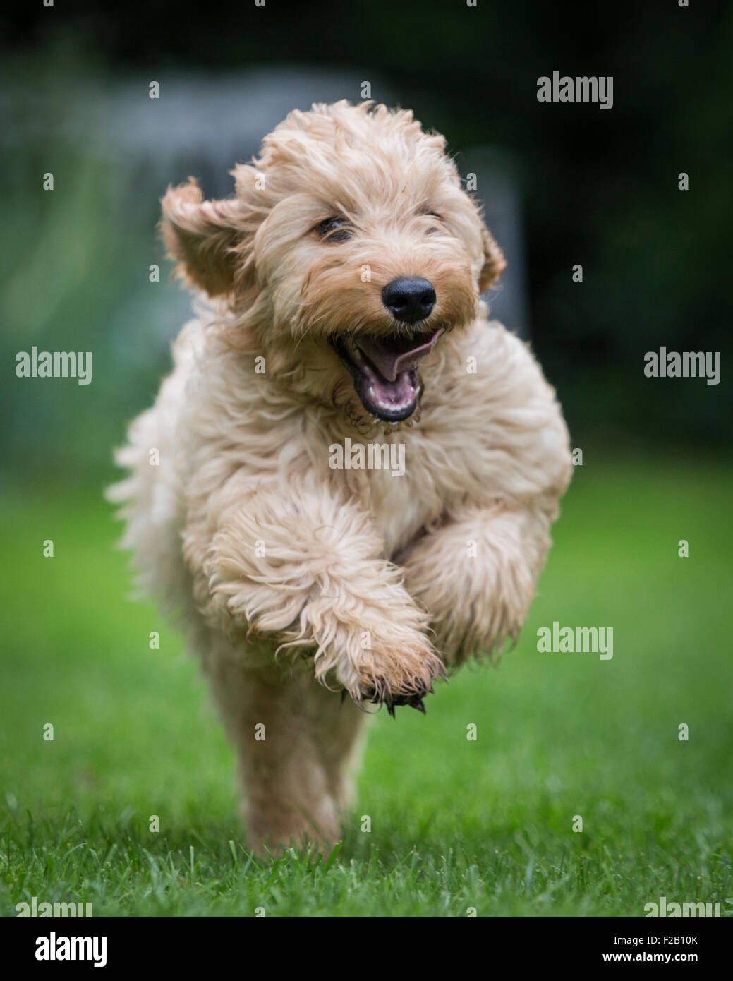 Four month old Cockapoo puppy running in garden - Stock Image