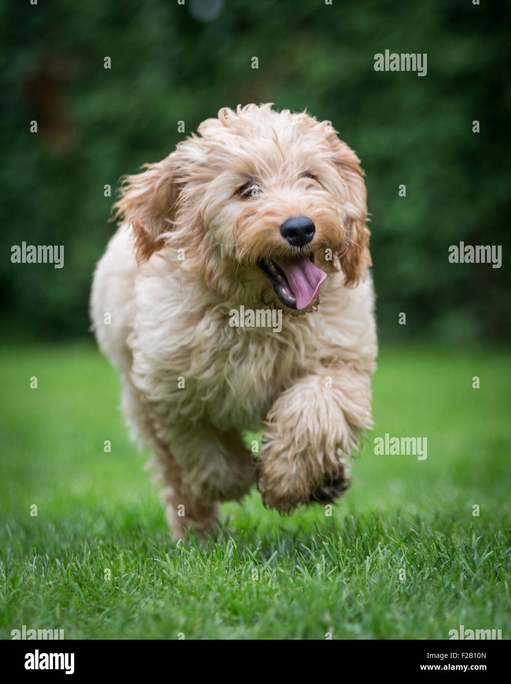 Four month old Cockapoo puppy running in garden Stock Photo