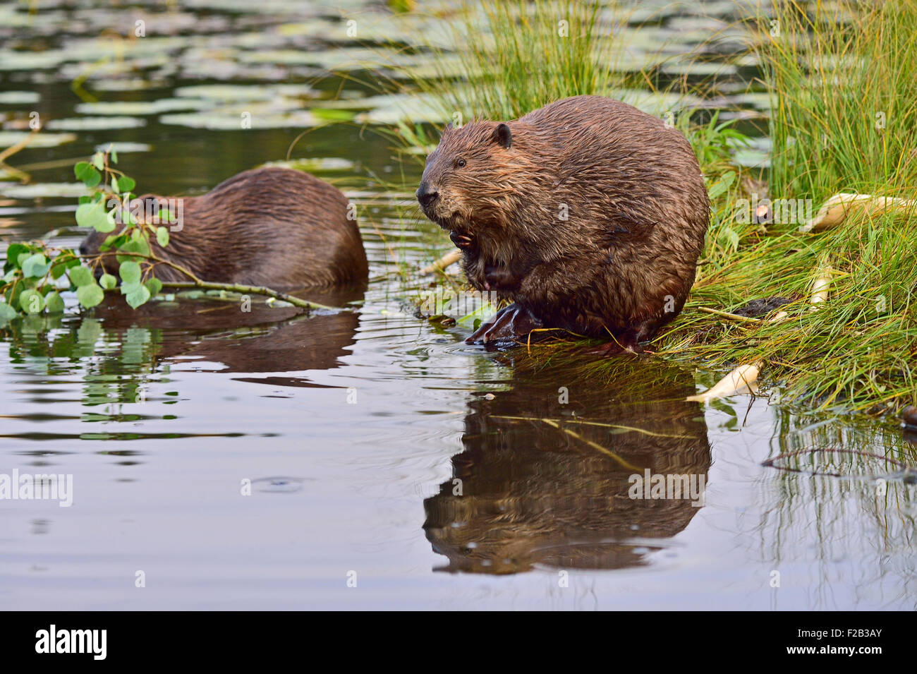 A wild Canadian beaver  'Castor canadenis'  making funny faces as he scratches and cleans his fur - Stock Image