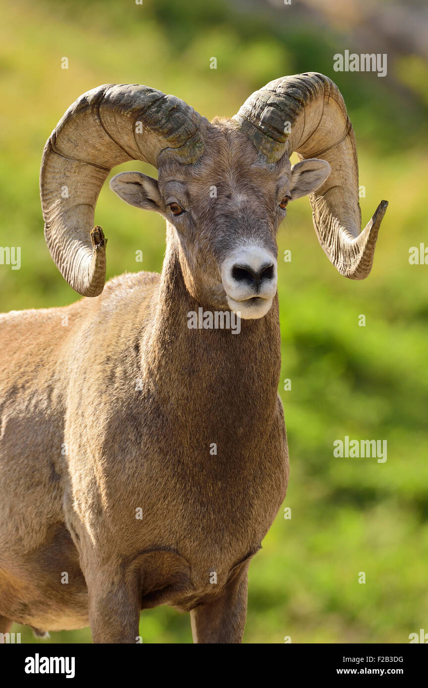 A vertical portrait image of an adult rocky mountain bighorn ram  Orvis canadensis; standing against a blurred background. - Stock Image