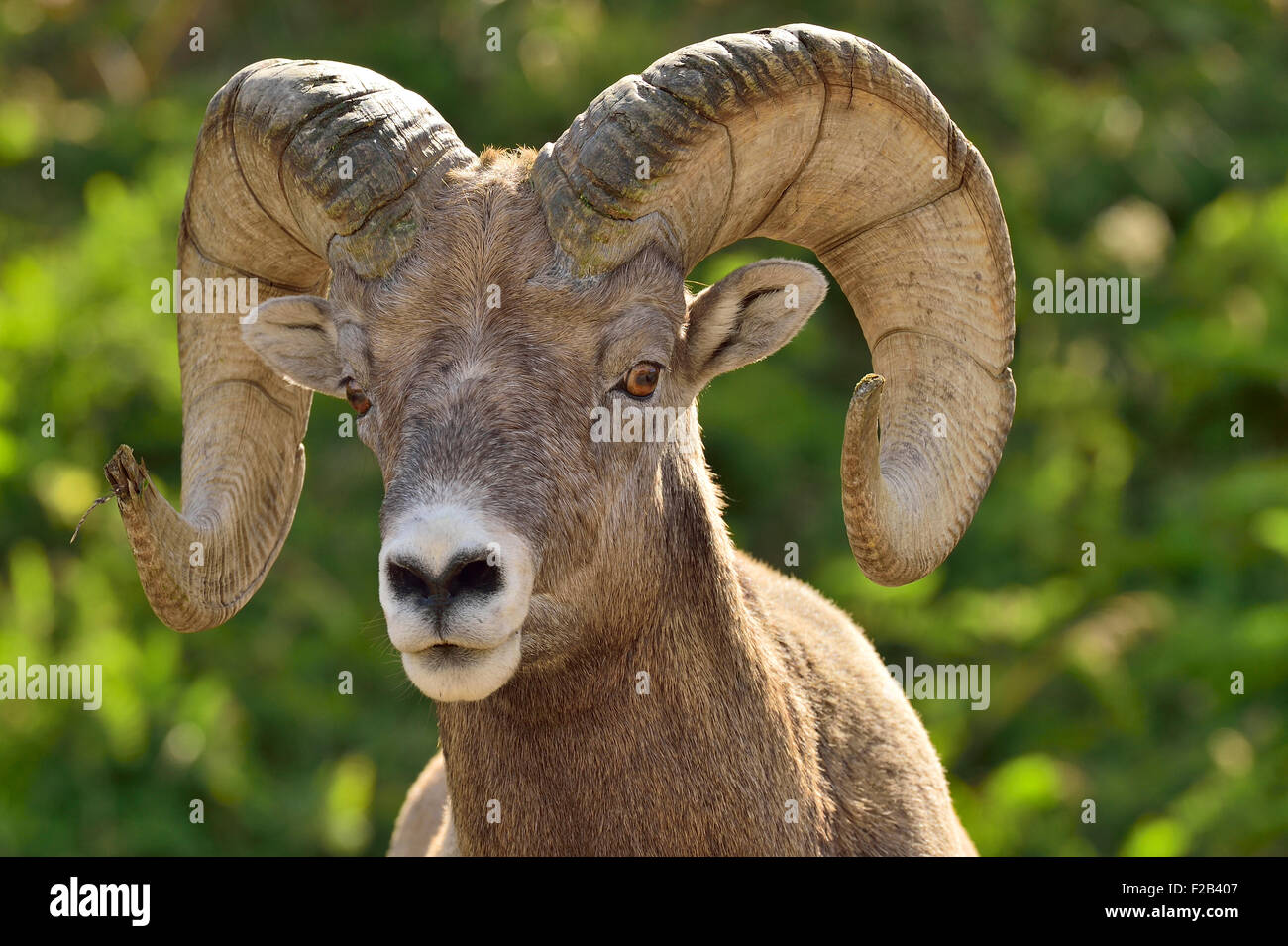 A portrait image of a rocky mountain bighorn sheep  Orvis canadensis; making eye contact - Stock Image