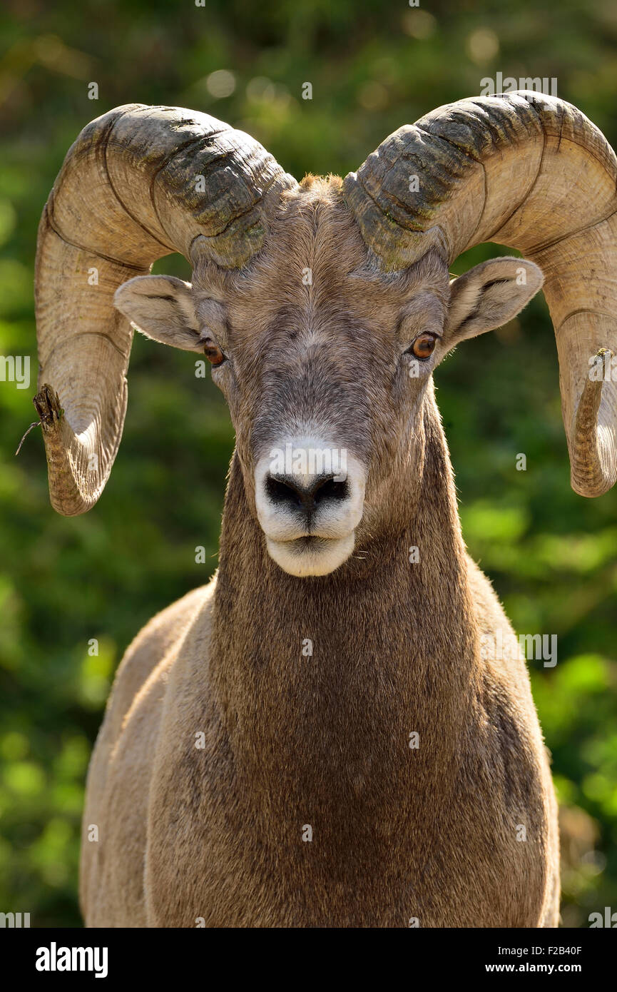 A front portrait image of a rocky mountain bighorn ram  Orvis canadensis; looking straight ahead - Stock Image