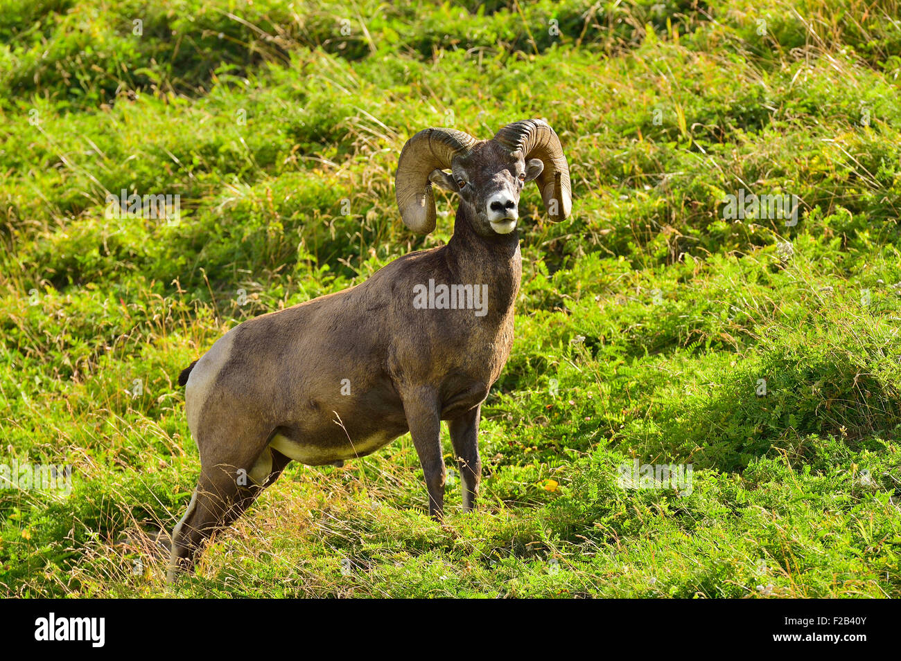 A wild Bighorn ram Orvis canadensis; standing in the lush vegetation on a hillside near Cadomin Alberta Canada - Stock Image