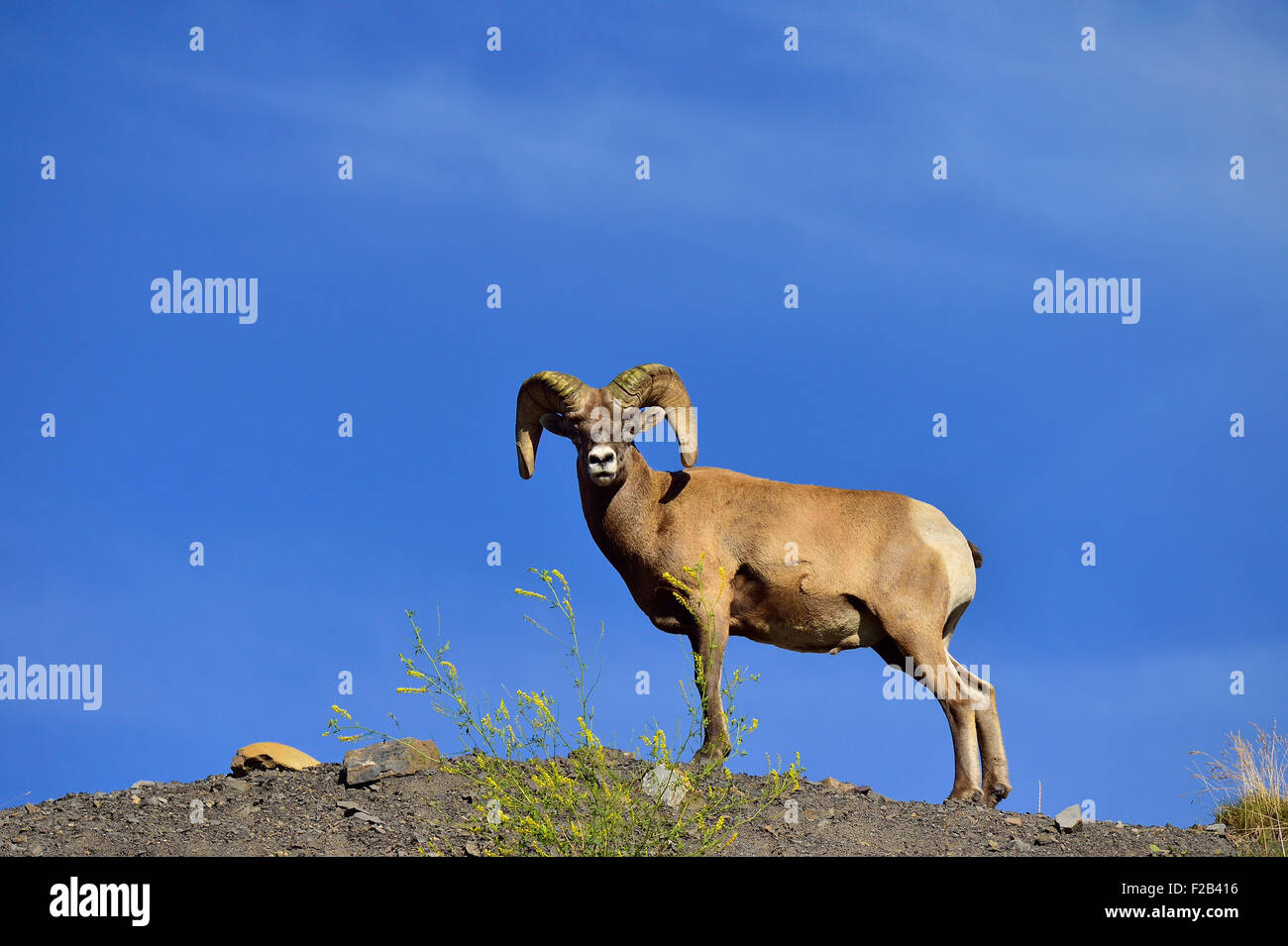An adult wild rocky mountain bighorn ram,  Orvis canadensis;  standing on a ridge - Stock Image