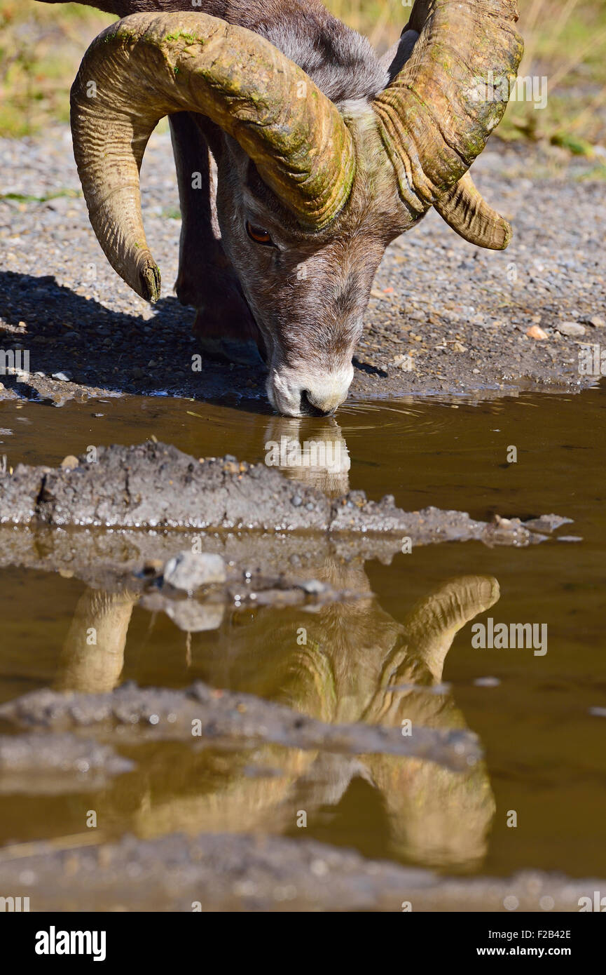 A close up front view of a rocky mountain bighorn sheep  Orvis canadensis; drinking water from a puddle - Stock Image