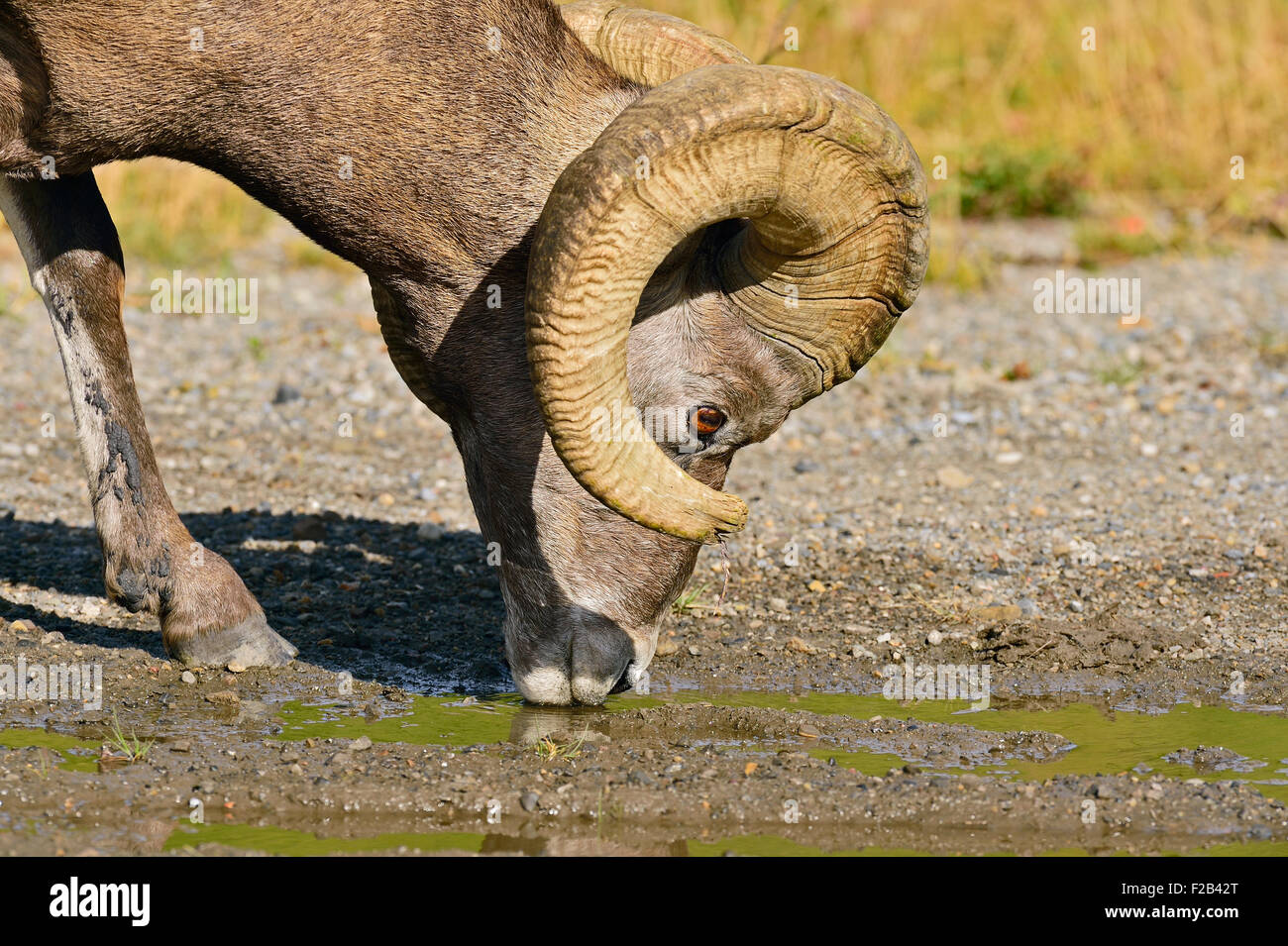 A rocky mountain bighorn sheep  Orvis canadensis; drinking water from a puddle - Stock Image