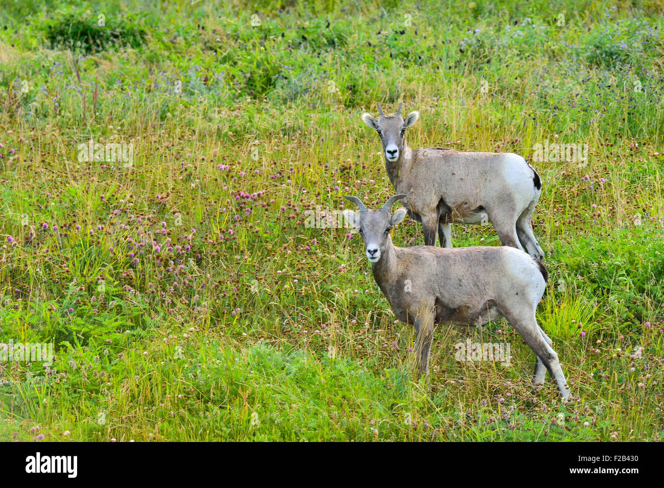 Two young rocky mountain bighorn sheep Orvis canadensis; standing in the lush vegetation on a side hill near Cadomin - Stock Image