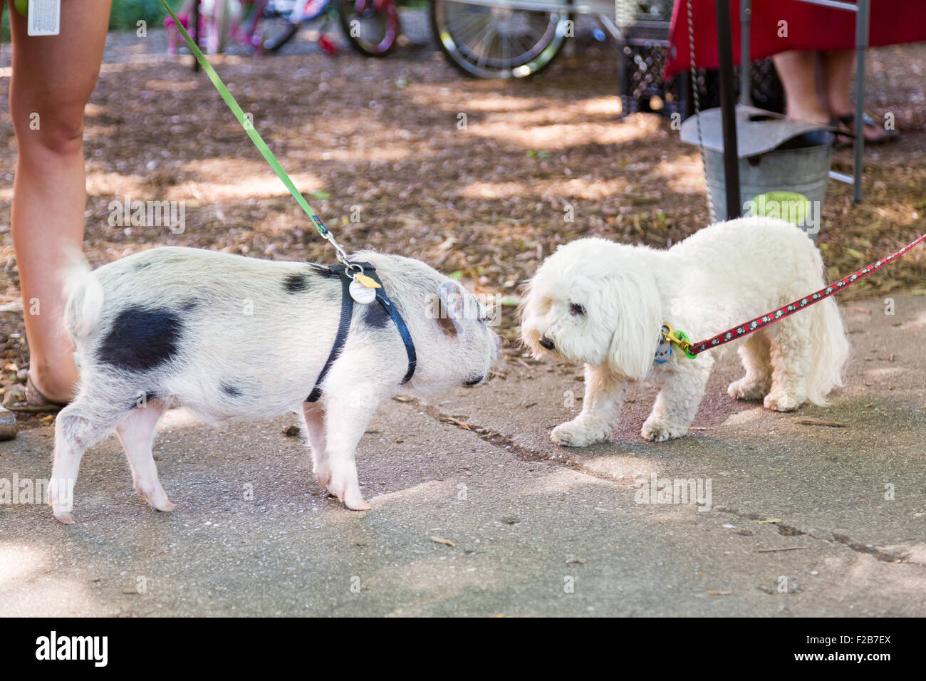 A Juliana teacup pet pig greets a dog at a farmers market in