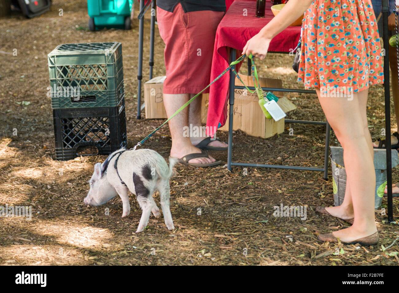 A young woman walks her Juliana teacup pet pig at a farmers