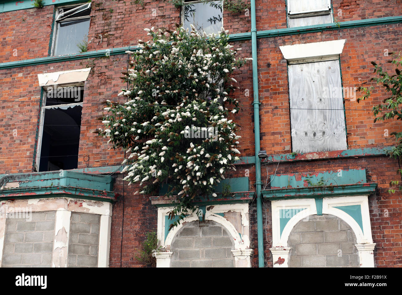 White buddleia growing out of a rundown disused building, Hawthorne Road, Liverpool. - Stock Image