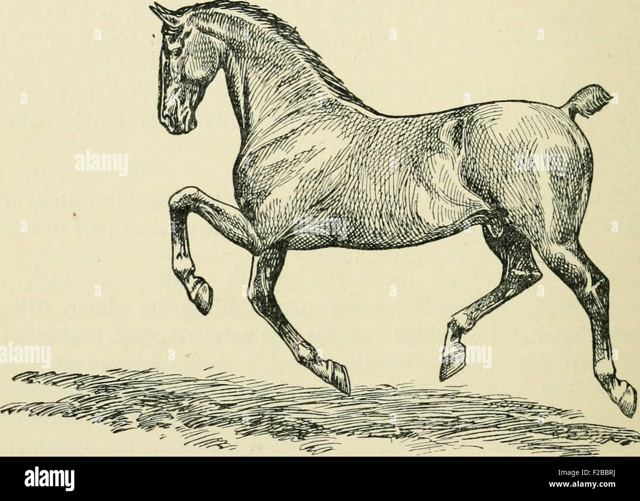 Horse Anatomy Drawing Stock Photos & Horse Anatomy Drawing Stock ...