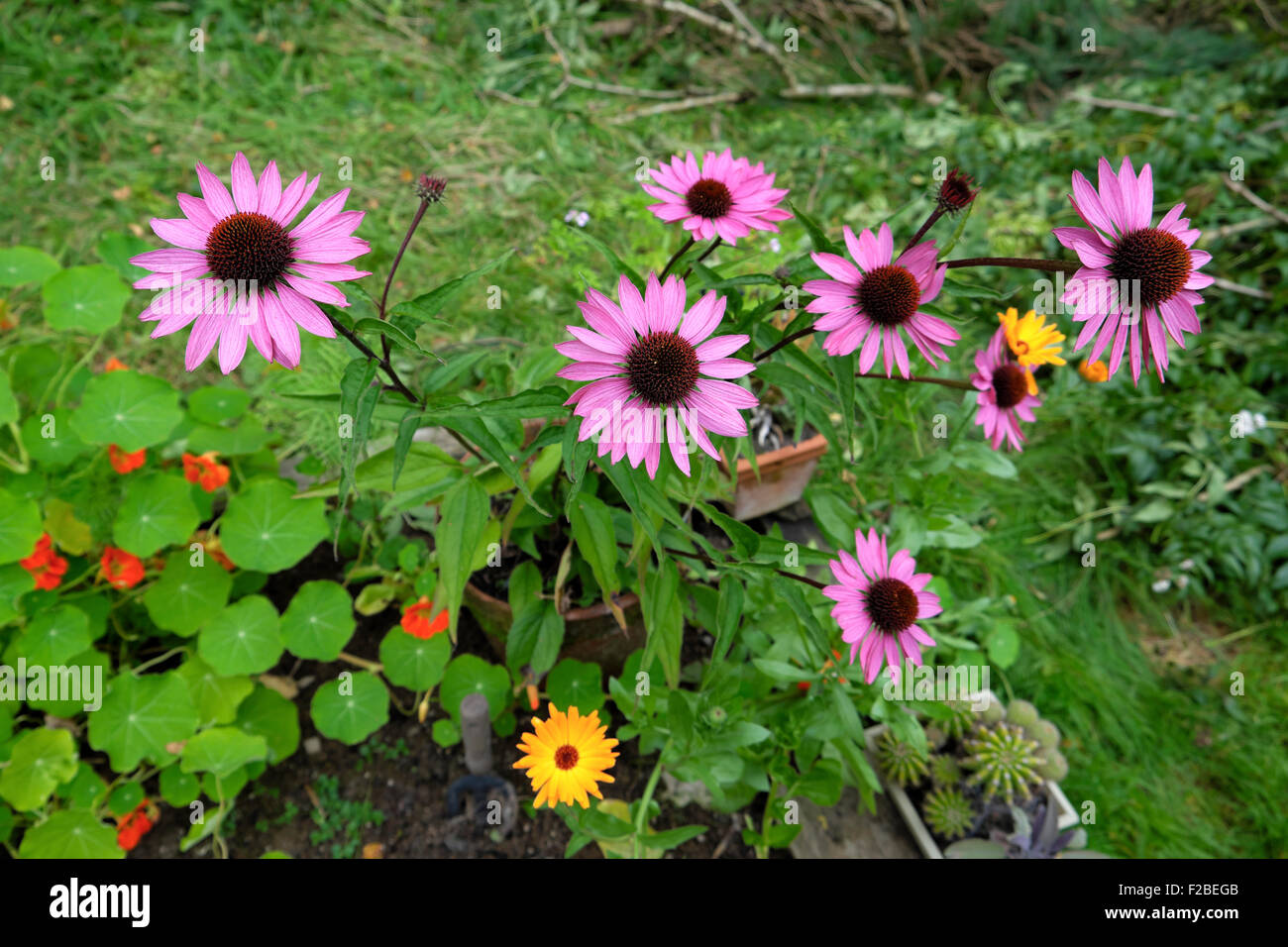 Rudbeckia Purpurea Perennial Flowers Blooming In Autumn In A Cottage